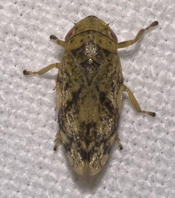 Aphrophoridae_spec.02