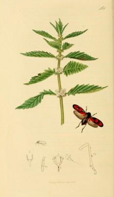 Vliegende bloedcicade